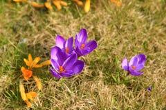 Flor de florescência do açafrão na primavera, França Fotos de Stock Royalty Free