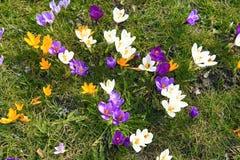 Flor de florescência do açafrão na primavera, França Fotografia de Stock