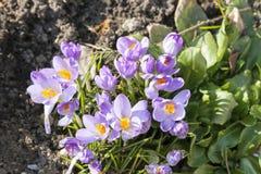 Flor de florescência do açafrão ou do açafrão na mola Fotografia de Stock Royalty Free