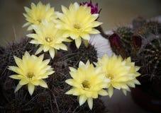 Flor de florescência do cacto amarelo fresco bonito Fotos de Stock
