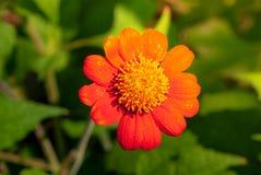 Flor de florescência do cosmos imagem de stock