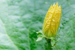 Flor de florescência do melão de inverno Foto de Stock