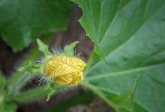 Flor de florescência do melão de inverno Foto de Stock Royalty Free