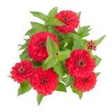 Flor de florescência dos zinnias imagem de stock