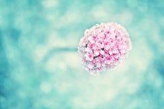 Flor de florescência magenta bonita em um fundo ciano borrado foto de stock