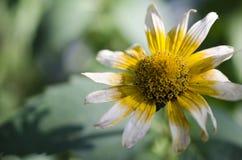 Flor de florescência no parque Fotografia de Stock