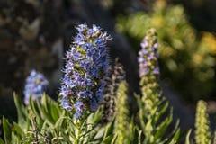 Flor de florescência de Tajinaste azul Ilha do La Gomera, Ilhas Canárias, Espanha imagens de stock royalty free