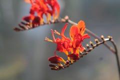 Flor de florescência vermelha Fotos de Stock