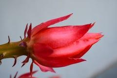 Flor de floresc?ncia do cacto Flores do ver?o imagem de stock royalty free