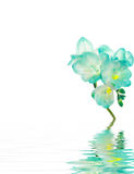 Flor de Fresia - azul para termas Imagens de Stock Royalty Free