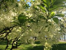 Flor de Fringetree imagen de archivo