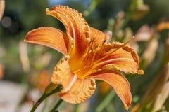 Flor de Fulva del Hemerocallis Fotografía de archivo libre de regalías