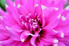 Flor de Fuschia Fotografia de Stock Royalty Free