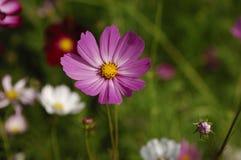 Flor de Galsang Imagenes de archivo