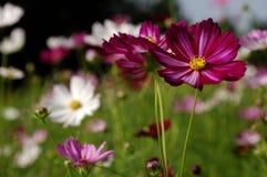 Flor de Galsang Fotos de archivo