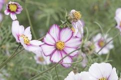 Flor de Galsang no parque do farol do tong de xiamen wu foto de stock