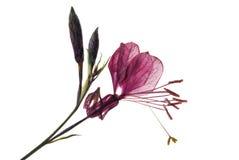 Flor de Gaura imagem de stock