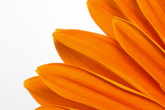 Flor de Gerber Fotografia de Stock Royalty Free