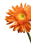 Flor de Gerber imagem de stock
