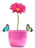 Flor de Gerber con las mariposas exóticas Imágenes de archivo libres de regalías