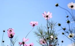 Flor de Gesang Imagem de Stock