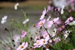 Flor de Gesang Fotografia de Stock Royalty Free