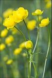 Flor de globo Foto de archivo libre de regalías