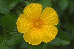 Flor de Gran Canaria Fotografia de Stock Royalty Free