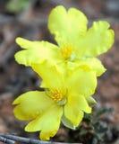Flor de Guinea erguida Imagen de archivo