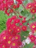 Flor de Gumtree Imagem de Stock