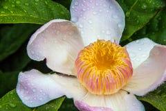 Flor de Gustavia con descensos Foto de archivo