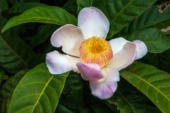 Flor de Gustavia con descensos Fotos de archivo