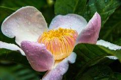 Flor de Gustavia con descensos Imagen de archivo