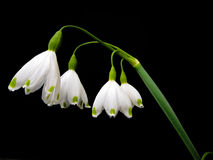 Flor de hadas en blanco con los puntos verdes Foto de archivo libre de regalías