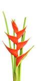 Flor de Heliconia Fotos de archivo