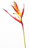 Flor de Heliconia Imagem de Stock Royalty Free