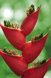 Flor de Heliconia. Foto de archivo