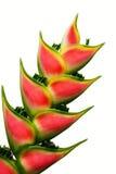 Flor de Heliconia Fotografía de archivo