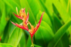 Flor de Heliconia Imagen de archivo libre de regalías