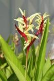 Flor de Heliconia fotos de stock royalty free