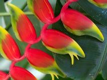 Flor de Heliconia Imagem de Stock