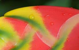 Flor de Heliconia. Macro. Imágenes de archivo libres de regalías