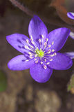 Flor de Hepatica de la primavera Foto de archivo