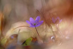 Flor de Hepatica Nobilis Imagens de Stock Royalty Free