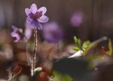 Flor de Hepatica Nobilis Fotos de Stock Royalty Free