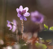 Flor de Hepatica Nobilis Fotografia de Stock Royalty Free