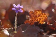Flor de Hepatica Nobilis Imagem de Stock Royalty Free