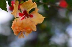 Flor de Hibicus fotografia de stock
