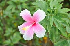 Flor de Hibisbus Fotografia de Stock