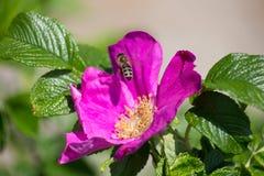 Flor de Hibiskus con la abeja Fotos de archivo libres de regalías